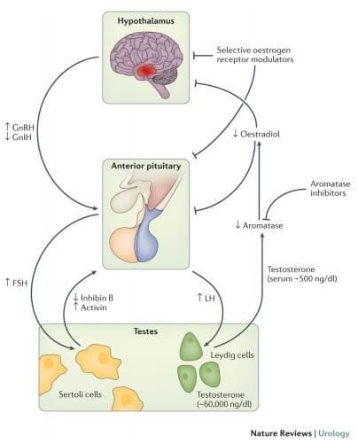 reproduktivnaya-sistema-muzhchiny-1